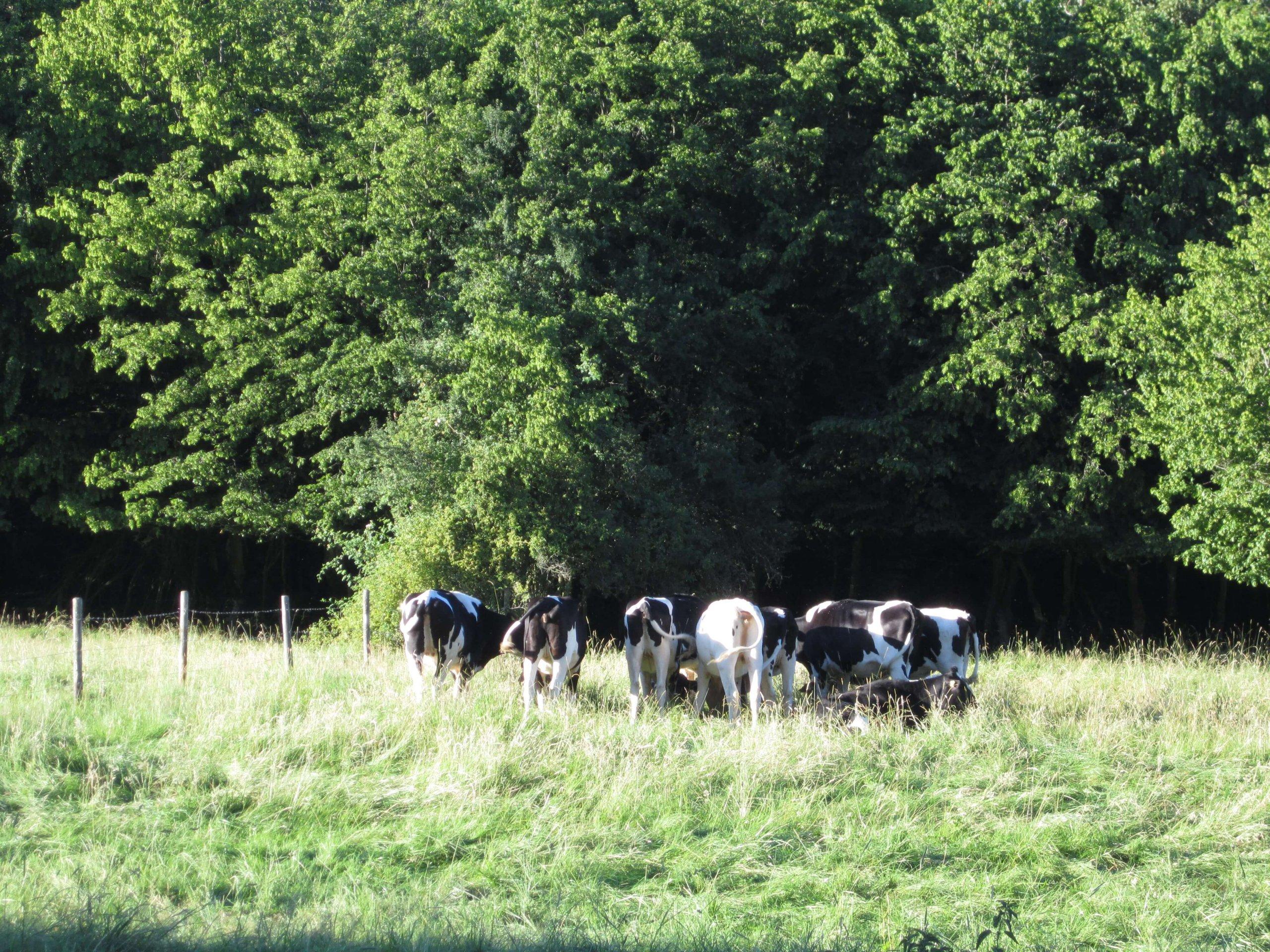 Kühe neben Waldfriede
